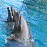 Delfini sorridenti Fotografia Stock