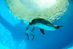 Delfini sotto acqua Fotografie Stock Libere da Diritti