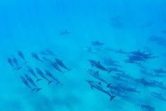 Delfini subacquei Immagini Stock Libere da Diritti