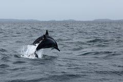 Delfini a Trincomalee Sri Lanka nell'Oceano Indiano fotografia stock