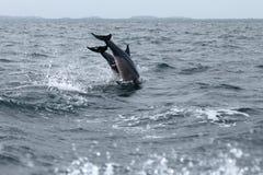 Delfini a Trincomalee Sri Lanka nell'Oceano Indiano fotografie stock libere da diritti