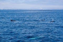 Delfini vicino alla costa di Ventura, California Fotografie Stock Libere da Diritti