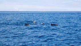 Delfini vicino alla costa di Ventura, California Immagine Stock