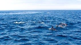 Delfini vicino alla costa di Ventura, California Fotografia Stock Libera da Diritti