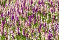 Delfinium flowers Stock Image