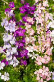 Delfinium flowers Royalty Free Stock Photo