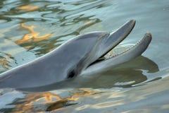 delfinleende Arkivbild