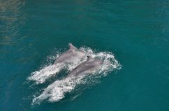 Delfinlekar royaltyfria foton