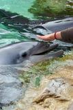 delfinmatning Arkivfoto