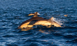 Delfinmoder och kalv Arkivfoto