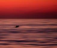 Delfino Fotografia Stock