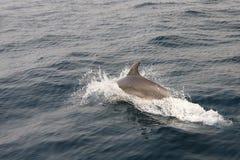 delfino Fotografie Stock
