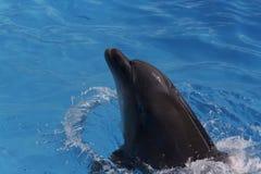 Delfino in acqua blu Fotografia Stock