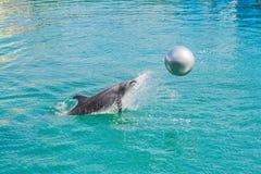 Delfino in acqua blu che gioca con la palla immagine stock libera da diritti