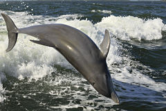 Delfino acrobatico Fotografie Stock