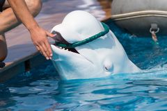 Delfino bianco nello stagno Fotografie Stock