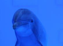 Delfino blu subacqueo Immagini Stock