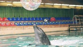 Delfino che gioca con la palla nella piscina in dolphinarium stock footage