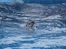 Delfino che gioca con un cerchio fotografie stock