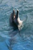 Delfino che gioca nell'oceano Fotografie Stock
