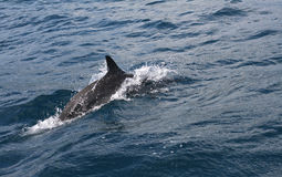 Delfino che piombo il modo Immagini Stock Libere da Diritti