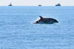 Delfino che salta dall'acqua Fotografie Stock