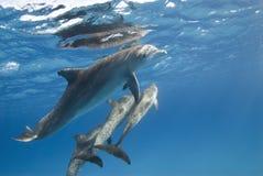 Delfino con il baccello Fotografie Stock Libere da Diritti