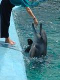Delfino con l'addestratore Fotografia Stock