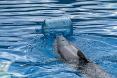 Delfino con lavaggio delle bottiglie di plastica il mare fotografia stock