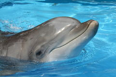 Delfino curioso Fotografia Stock