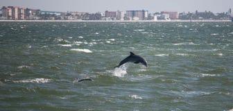 Delfino davanti all'isola di Sanibel Fotografie Stock