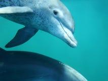 Delfino del Mozambico immagine stock