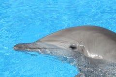 Delfino del naso della bottiglia Immagine Stock