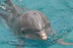 Delfino del radiatore anteriore della bottiglia Immagini Stock