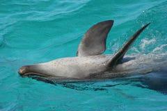 Delfino del radiatore anteriore della bottiglia Fotografie Stock