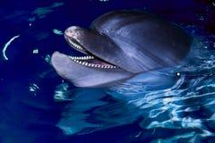 Delfino di Bottle-nose Immagine Stock Libera da Diritti