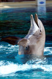 Delfino di Bottlenose Immagine Stock