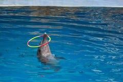 Delfino di Bottlenose Fotografie Stock