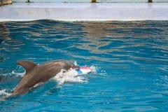 Delfino di Bottlenose Immagine Stock Libera da Diritti