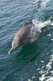 Delfino di Bottlenose Fotografia Stock Libera da Diritti