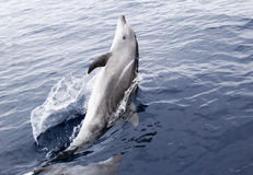 Delfino di Bottlenose allegro selvaggio Immagini Stock