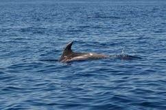 Delfino di Bottlenose che rompe la superficie Immagini Stock Libere da Diritti