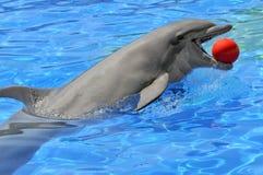 Delfino di Bottlenose con una sfera nella bocca Fotografia Stock