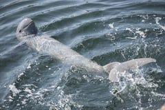 Delfino di Irrawaddy fotografie stock