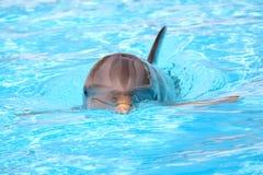 Delfino di nuoto Immagini Stock Libere da Diritti