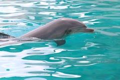 Delfino di nuoto fotografia stock