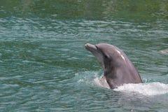 Delfino di nuoto Immagini Stock