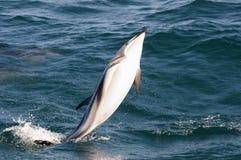 Delfino di salto - Kaikoura - Nuova Zelanda Fotografie Stock