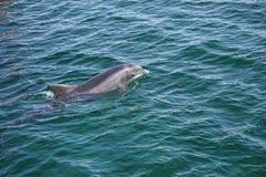 Delfino di salto in oceano immagine stock libera da diritti