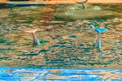 Delfino a dorso d'asino Indo-pacifico sveglio (Sousa chinensis) Fotografie Stock Libere da Diritti